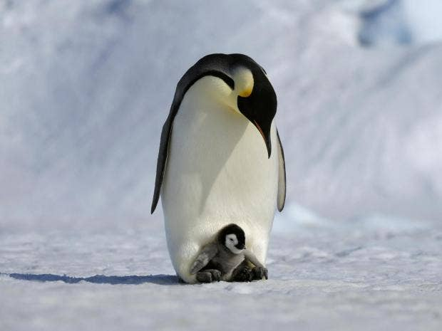 Emperor Penguins Good Dads But Less Dedicated Than You
