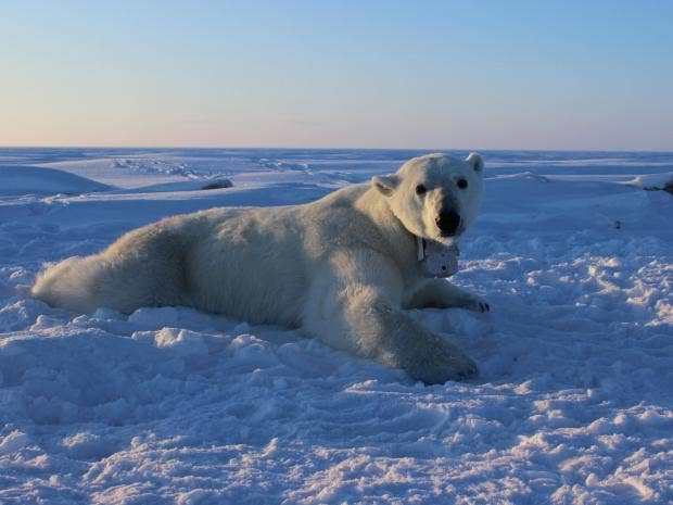 Polar bears more vulnerable to starvation due to climate change, according to new study