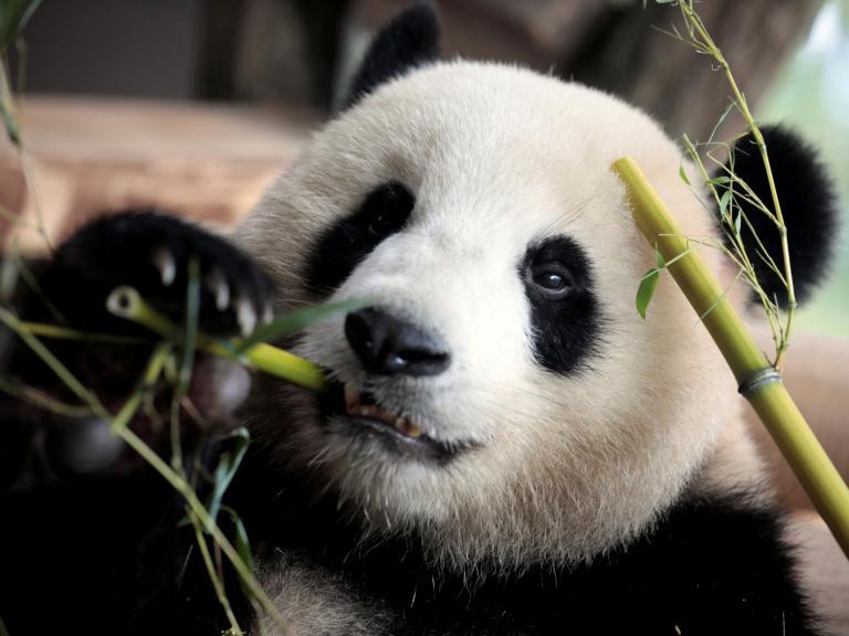 Berlin Zoo hopes sex will cure distressed panda's habit of walking backwards