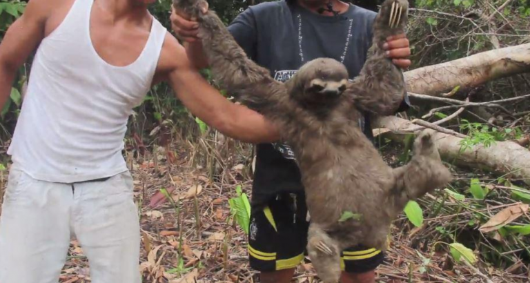 Sloth shown on video being dragged from tree in Peru by illegal loggers for tourist selfies