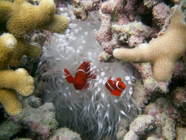 clownfish-coral.jpg