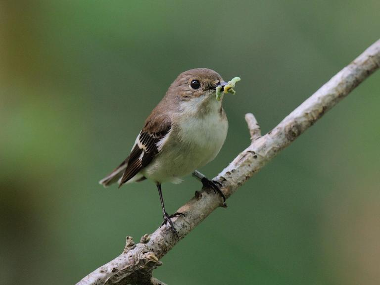 Climate change leaves birds hungry as chicks hatch too late to eat caterpillars