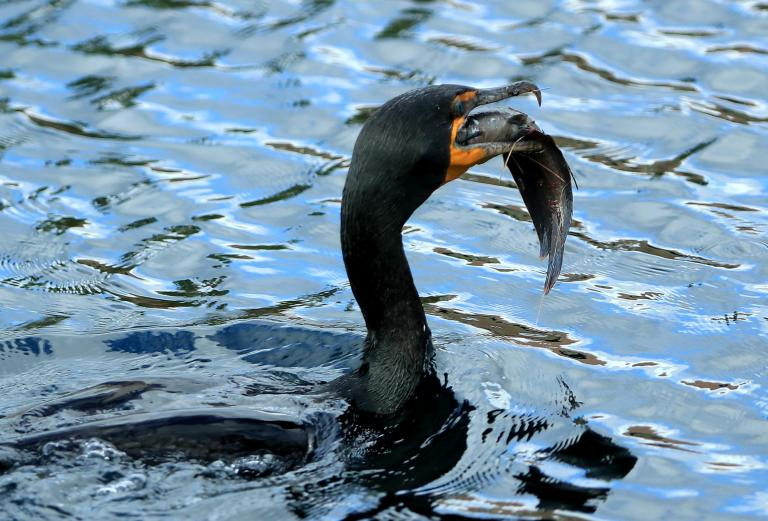 Anglers urging government to allow shooting of more cormorants to stop birds eating fish they catch for sport