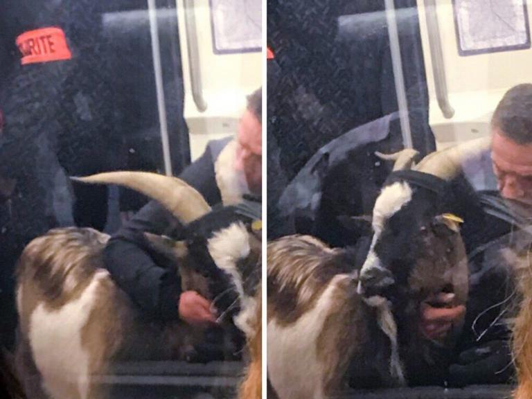 goat-train.jpg
