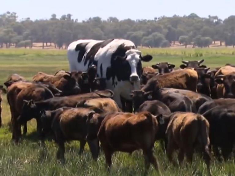 enormous-australian-steer-named-knickers