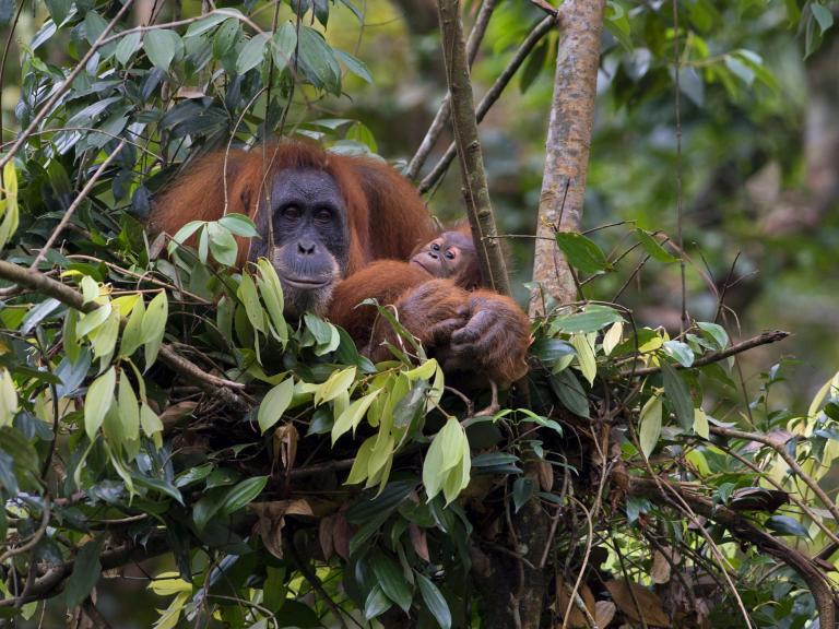 orang-utan-rainforest.jpg