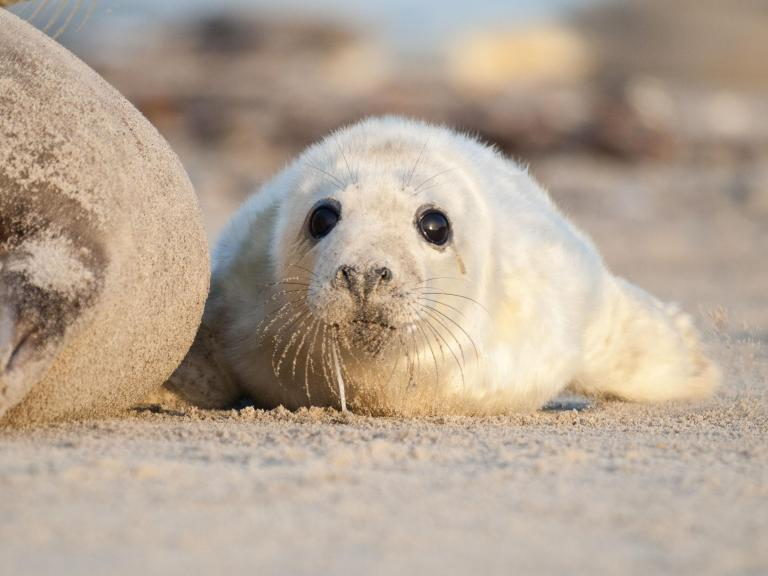 grey-seal-pup.jpg