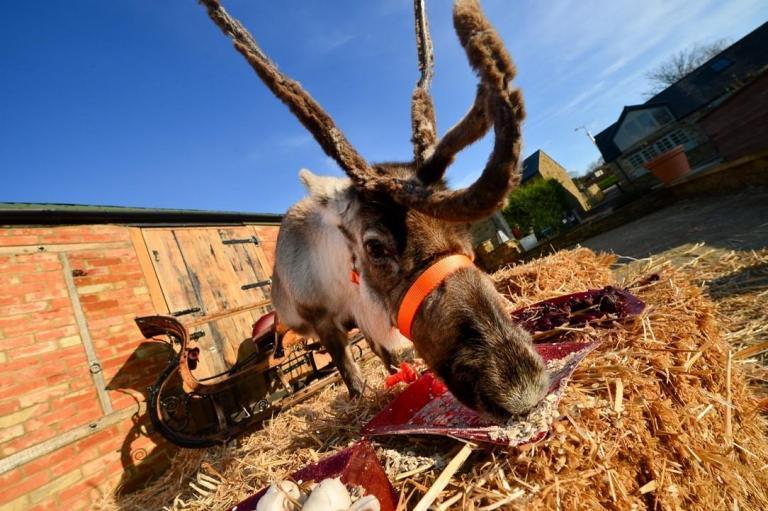 reindeer-eating.jpg