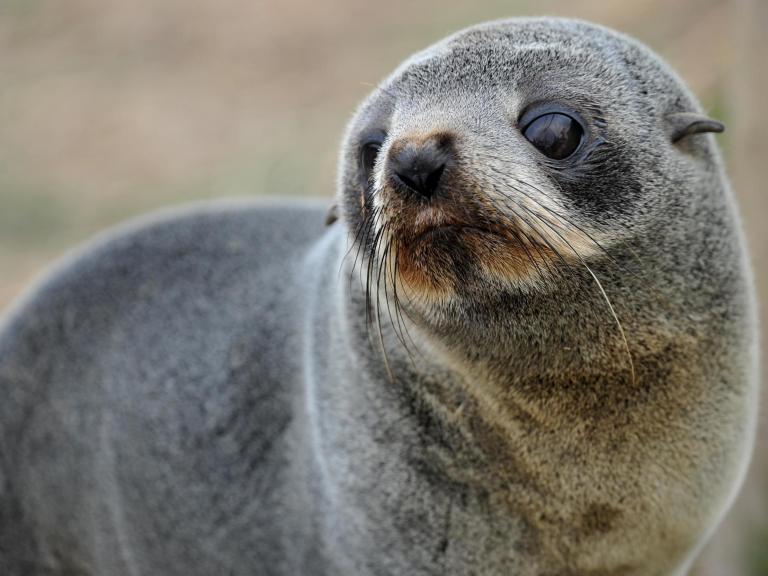 fur-seal.jpg
