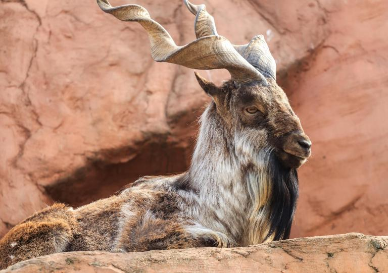 American hunter pays $100,000 to kill rare Himalayan 'screw-horned' goat, Pakistan's national animal