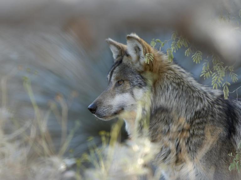 mexican-grey-wolf.jpg