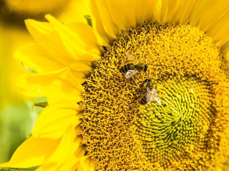 honeybees-sunflower.jpg
