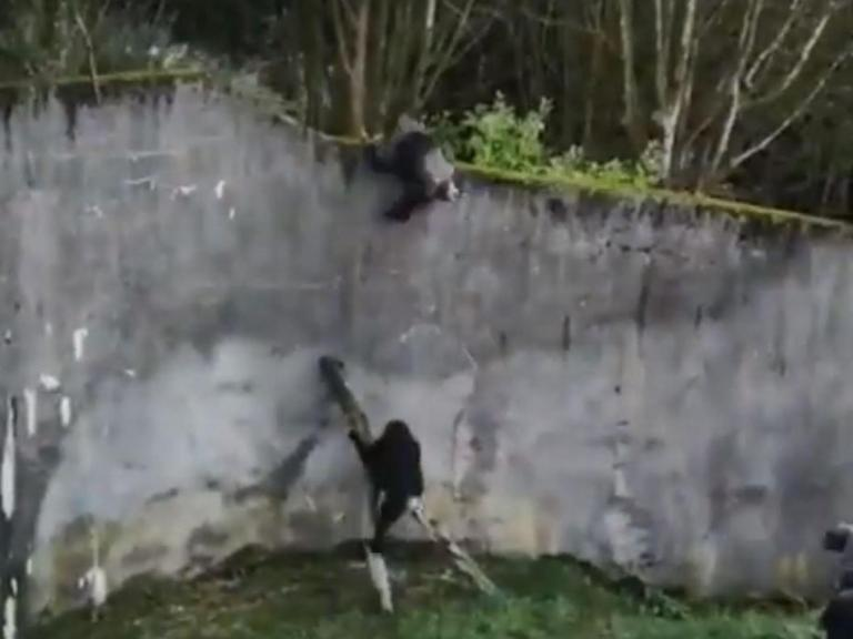 chimp-escape-zoo.jpg