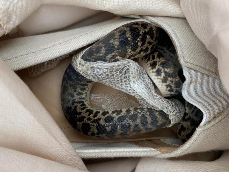 spotted-python-snake2.jpg