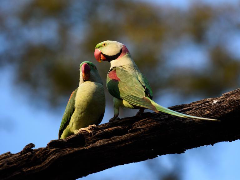 parakeets-0.jpg