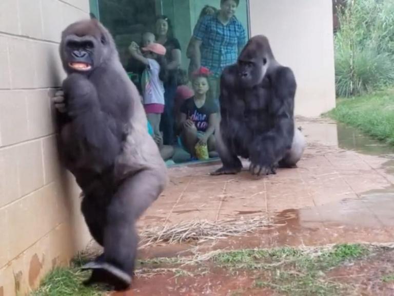 gorilla-face-rain.jpg