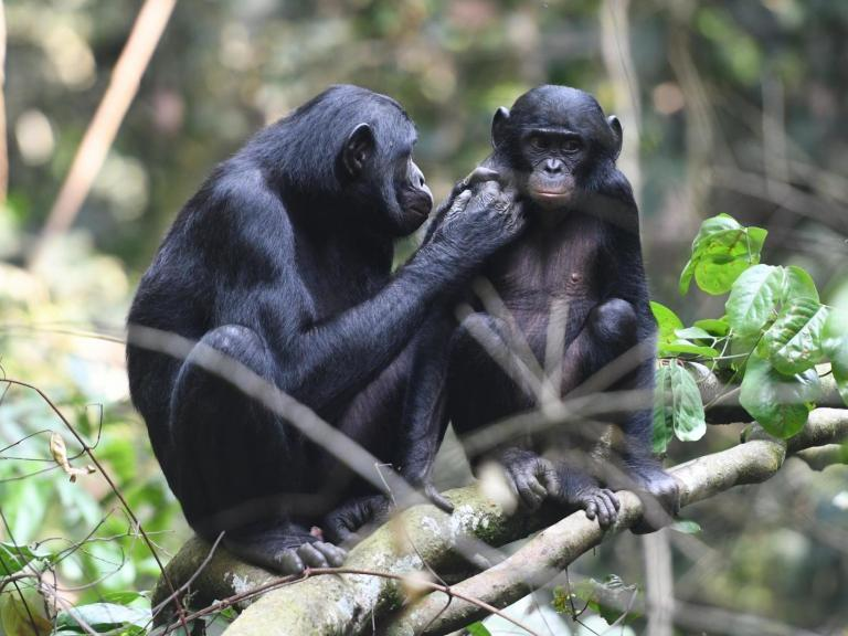 Mummy's boy: Bonobo mothers make sure their sons find fertile females