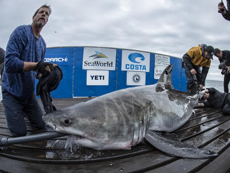 great-white-shark-long-island-sound.jpg