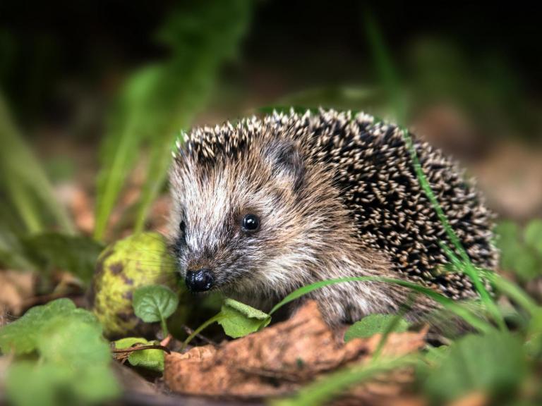 hedgehog-istock.jpg