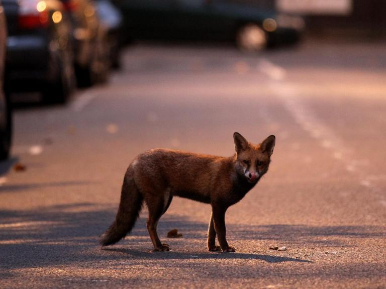 city-fox.jpg