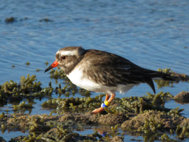 shore-plover-new-zealand.png