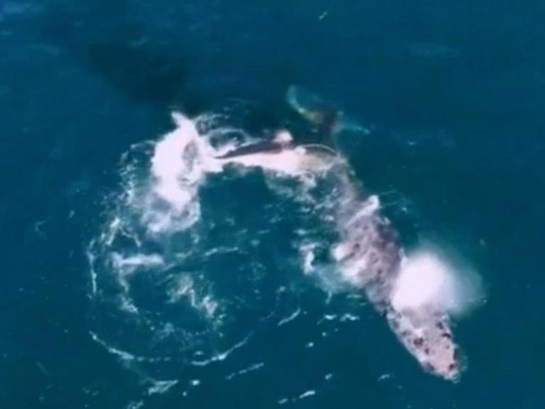 great-white-shark-attacks-humpback-whale