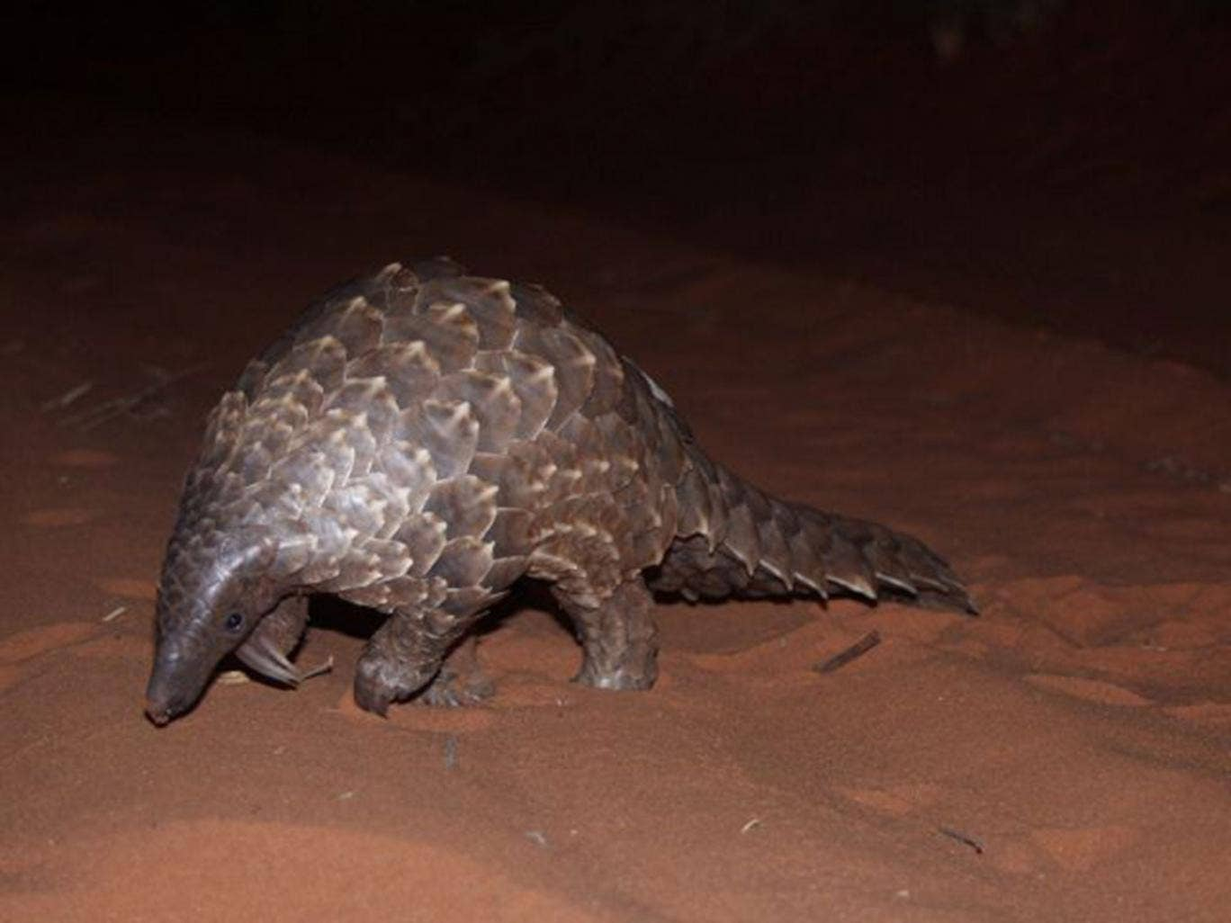 What kind of animal is pangolin