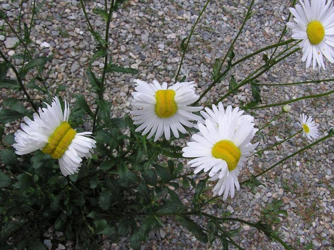 Mutant daisies found near fukushima nuclear disaster may have mutant daisies found near fukushima nuclear disaster may have nothing to do with radiation the independent izmirmasajfo