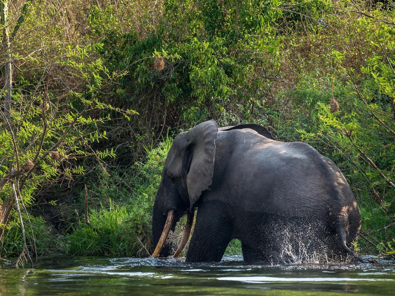 elephant-congo.jpg
