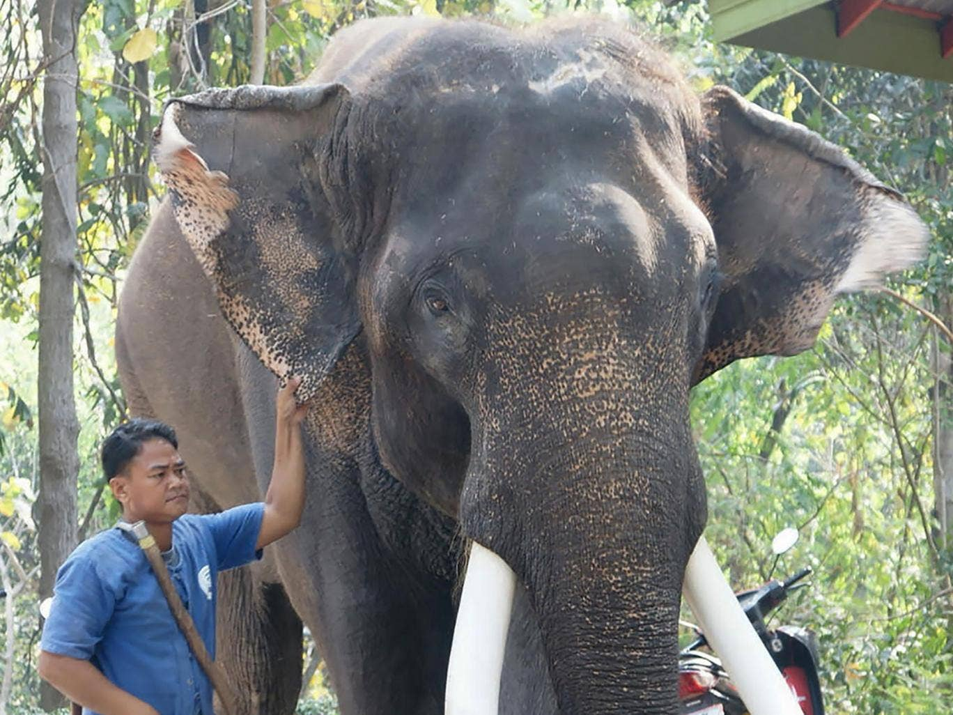 Male ♂ Asian elephant (Elephas maximus) Ekasit at Thailand unspecified location