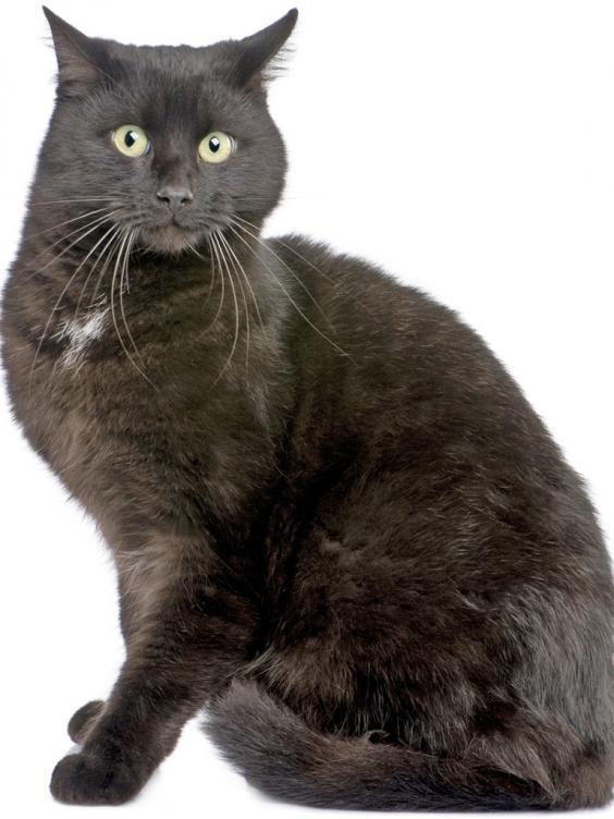 pg-28-black-cat-rex.jpg