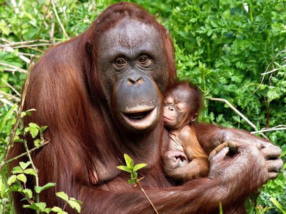 UK-Best-orangutan-PA.jpg