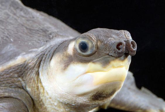 pignosed-turtle.jpg