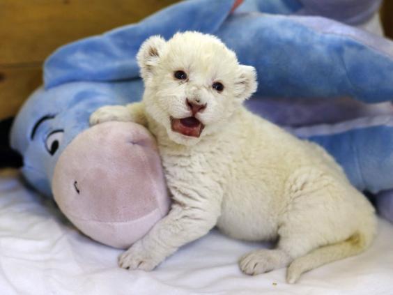 White-lion-cub1-rt.jpg