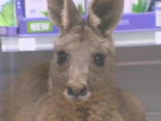 kangaroo-melbourne-3.jpg