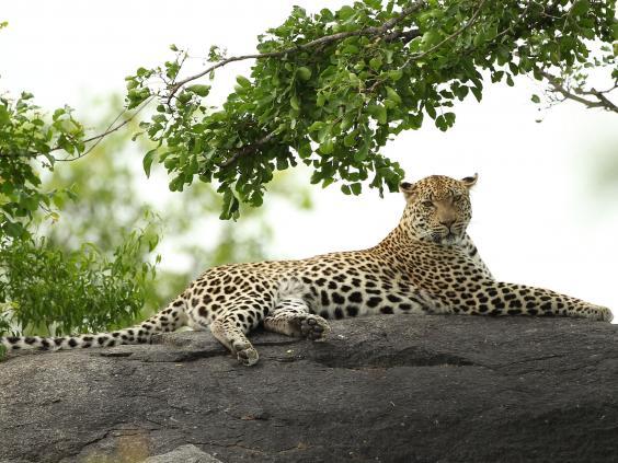 leopard-gt.jpg