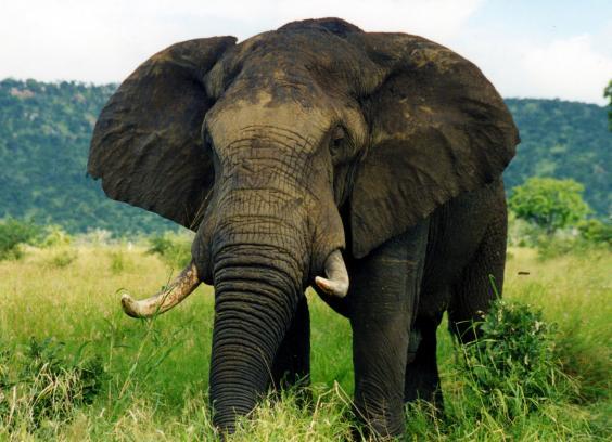 elephantattack4_1.jpg