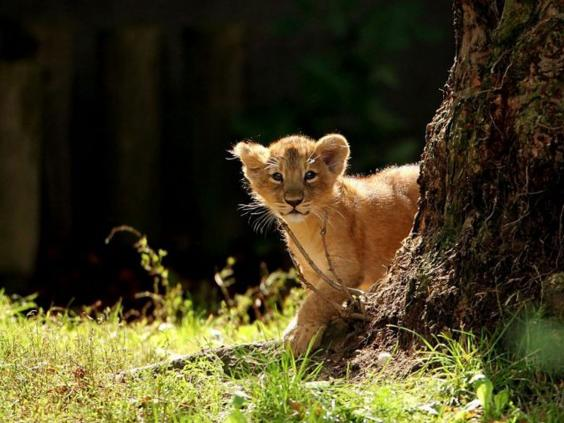 lionbabyGETTY.jpg