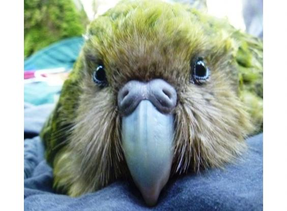 the latin name of the kakapo strigops habroptilus translates roughly