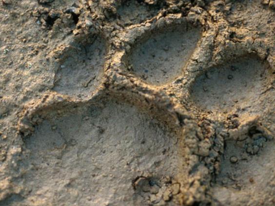 nepal-tiger-print.jpg