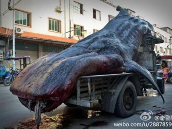 whale-shark-weibo-3.jpg