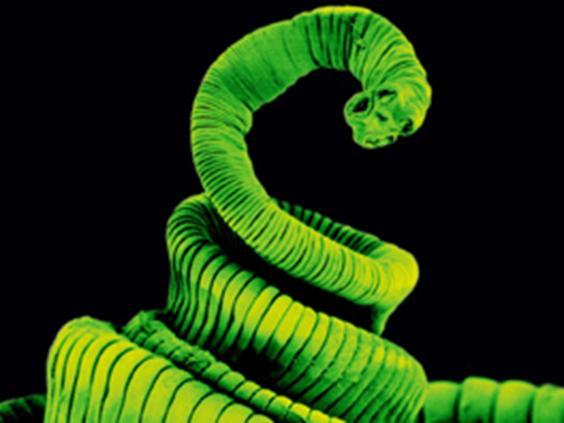tapeworm.jpg