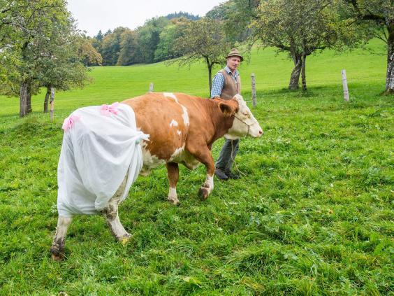 cows-germany.jpg