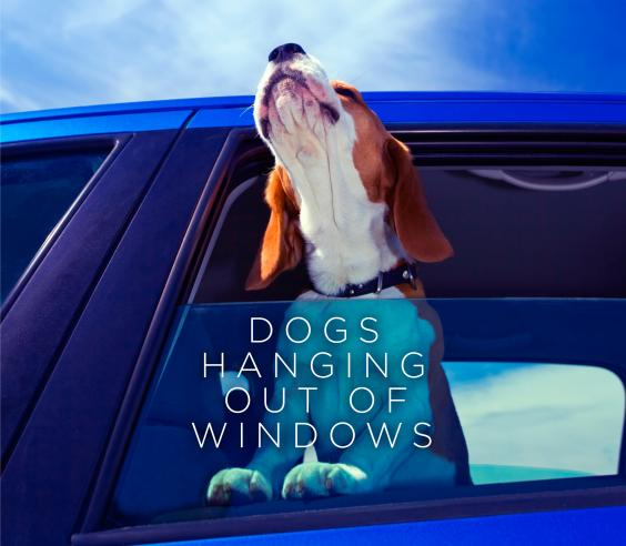 Dogs Hanging Out of Windows jacket.jpg