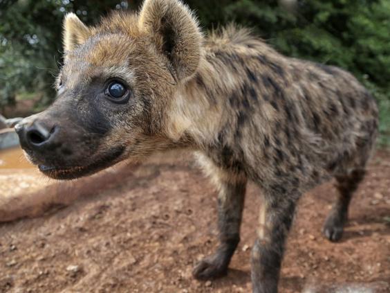 17-Hyena3.jpg