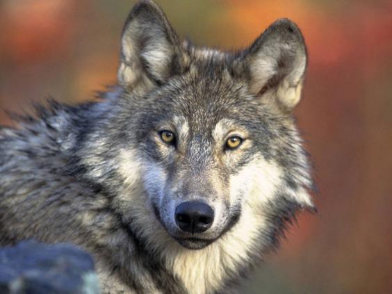 grey-wolf.jpg