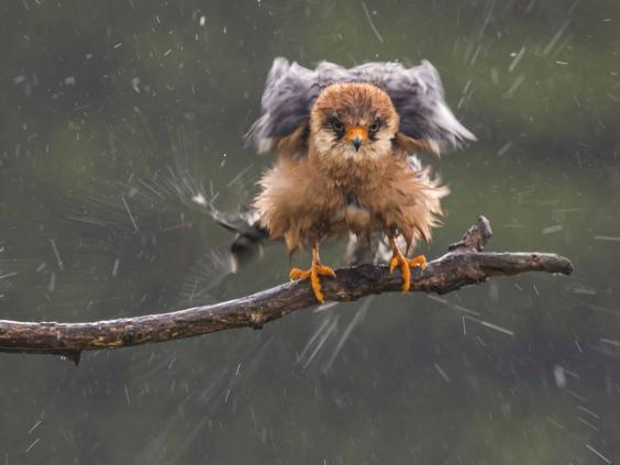 wanderlust_falcon.jpg
