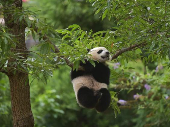 34-panda-AFPGet.jpg