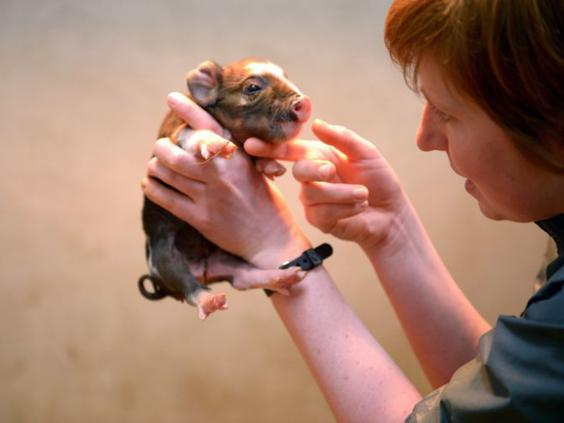 22-Micro-Pig-getty.jpg