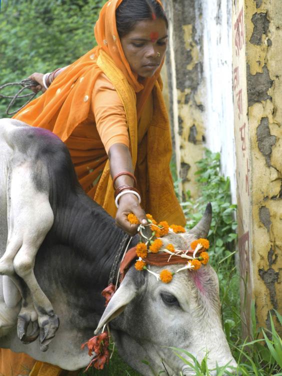 India-cow-2.jpg